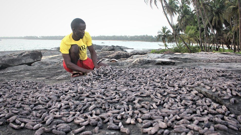 Man sorting sea cucumbers
