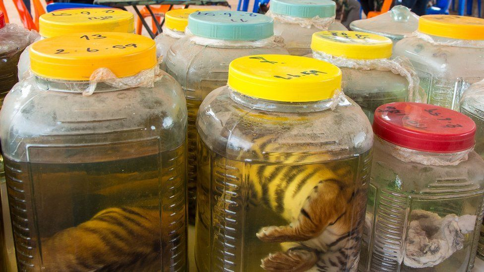 Dead tiger cubs in jars.