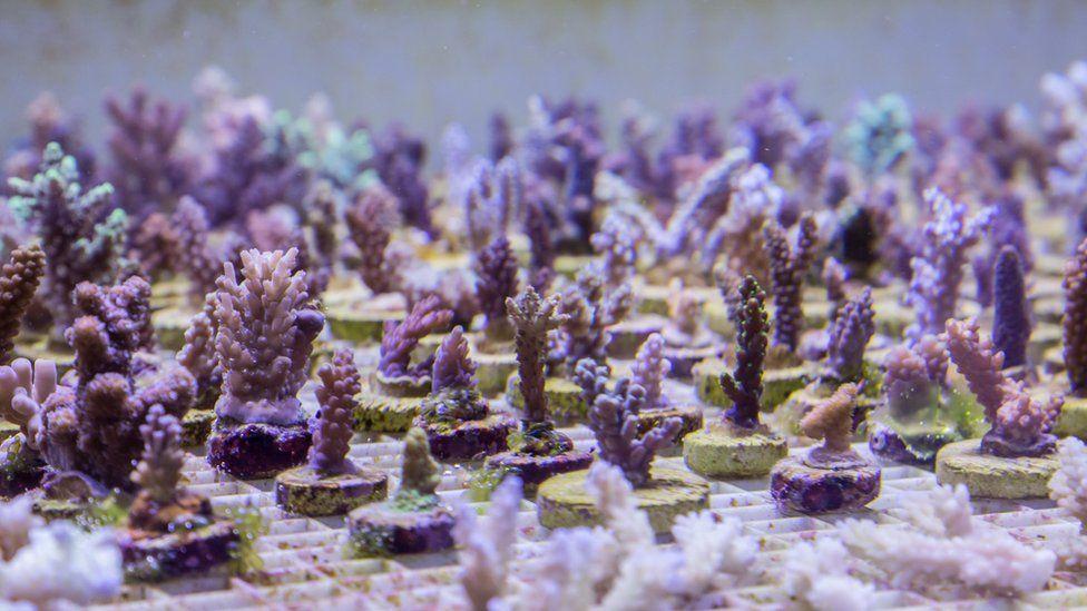An underwater coral farm