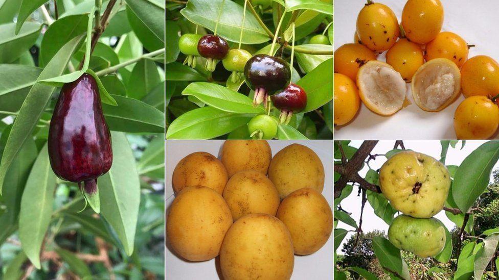 Conheça as 'superfrutas' encontradas na Mata Atlântica que pesquisadores tentam salvar da extinção