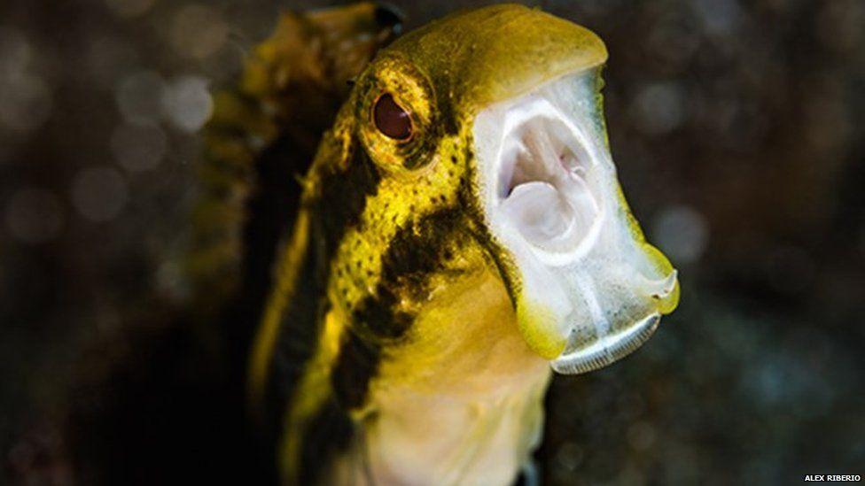 O peixinho que droga predadores com 'mordida de heroína'