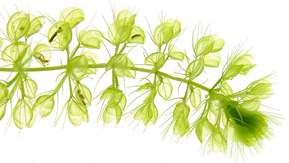 The stem of a light green plant with multiple branches consisting of small 'traps'