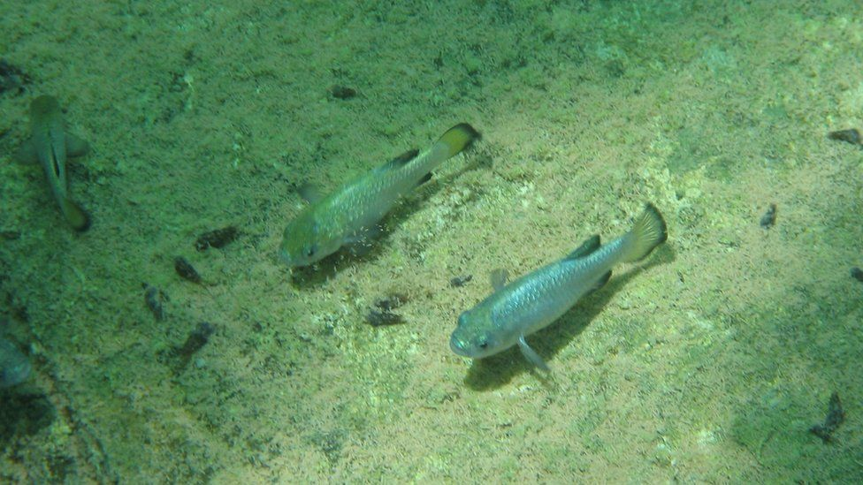 The fish spawn on a narrow shelf in the rock pool