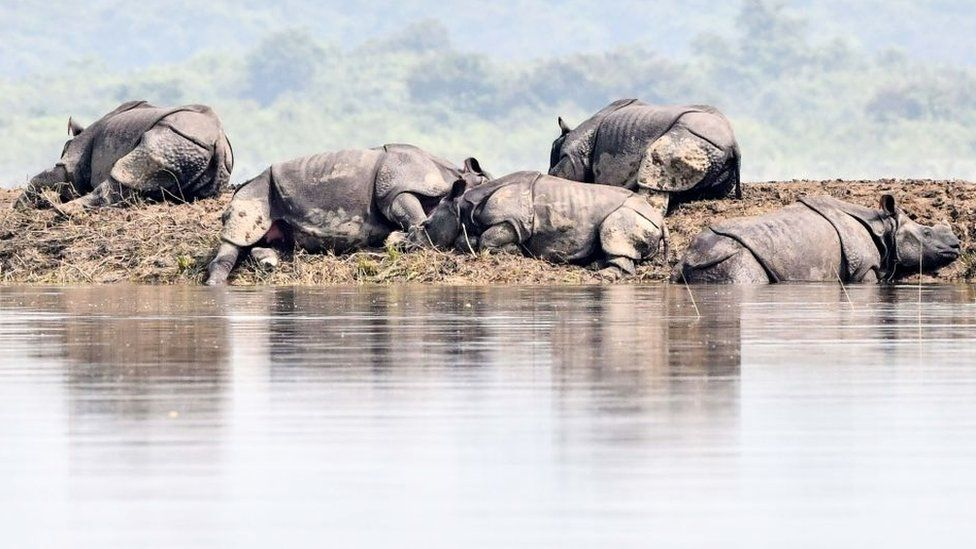 One-horned rhinoceros take shelter on a higher-land in the flood affected area of Kaziranga National Park in the northeastern Indian state of Assam on July 18, 2019.