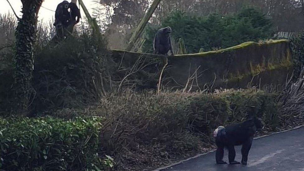Chimpanzee at Belfast Zoo on public path