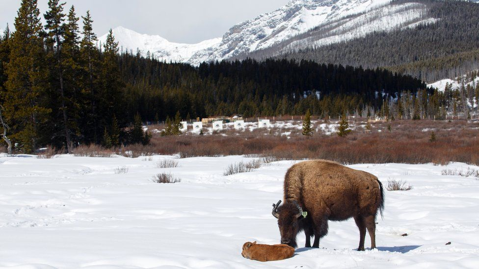 This calf is the first bison born in Banff National Park's in over a century