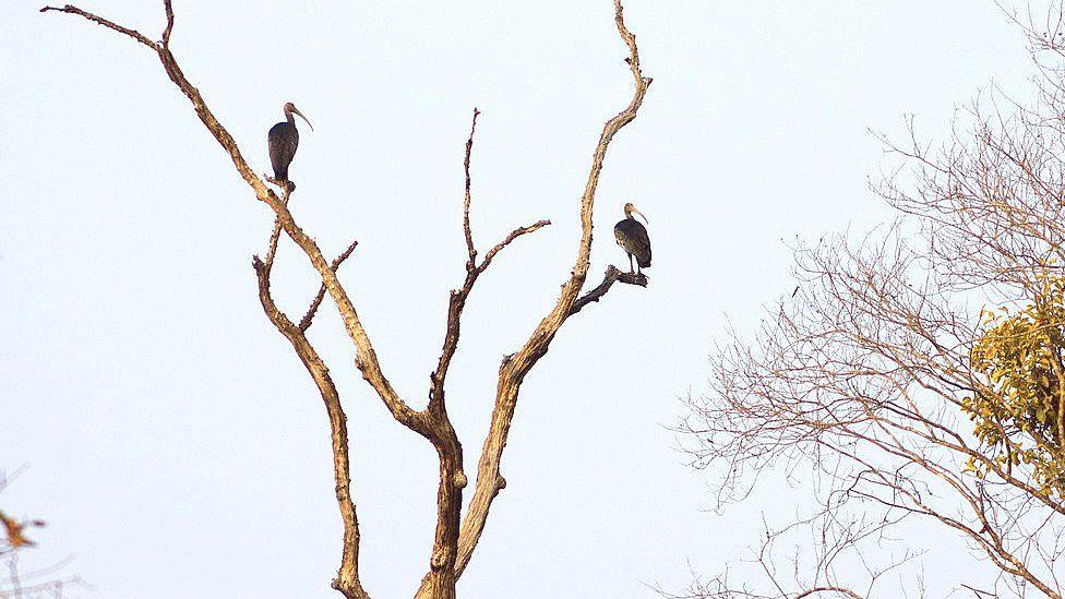 Two giant ibis perched in tree