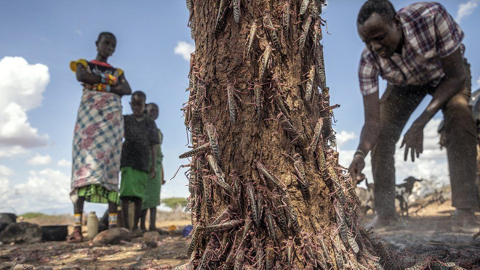Desert locusts stand on the local vegetation in Ipsolo county of northern Kenya