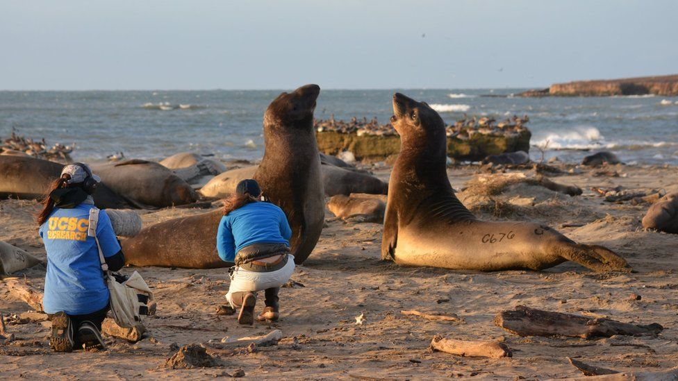 Northern male elephant seals (c) Colleen Reichmuth/NMFS 19108