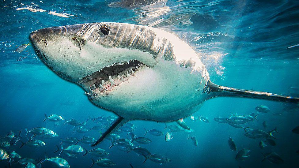Cura do câncer: tubarões-brancos podem ajudar cientistas a pesquisar soluções