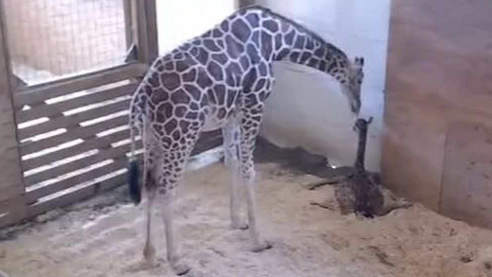 Still of April the giraffe and her calf