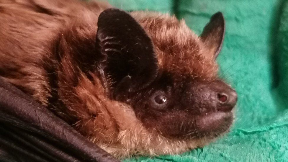 Somerset Animal Lover Looks After Injured Bats In Her Bedroom Bbc News
