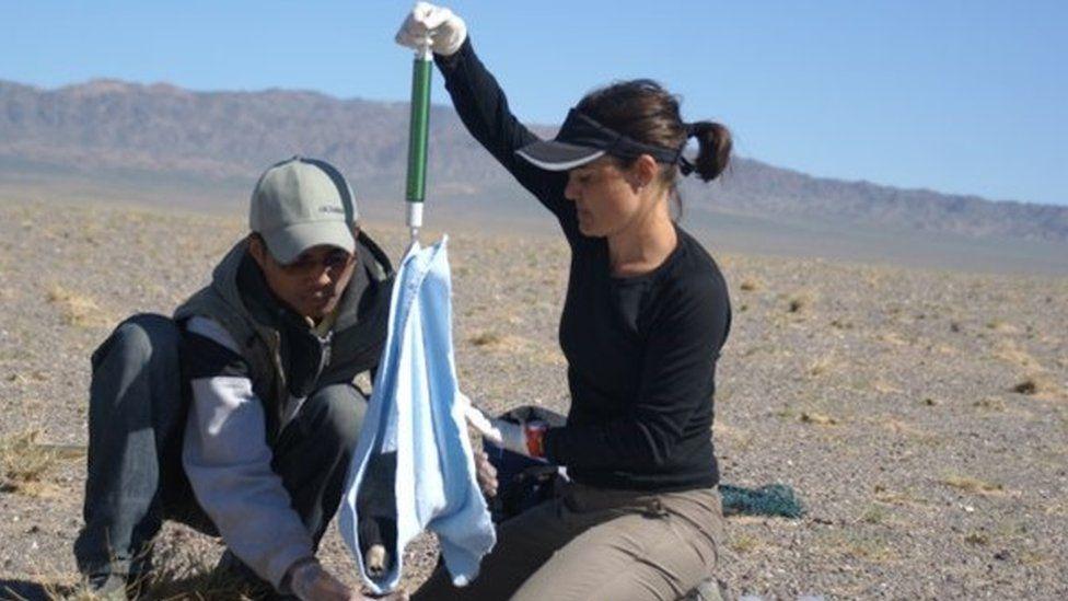 Dr Young weighing a young Mongolian saiga calf