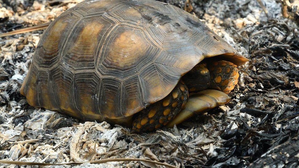 Una tortuga en medio de cenizas de incendios