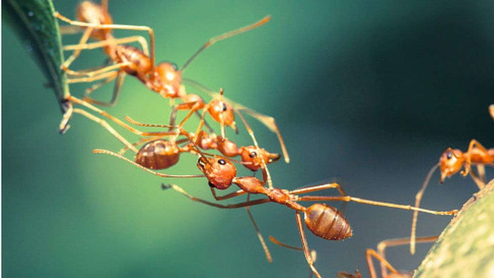 Ants clinging together to make a bridge