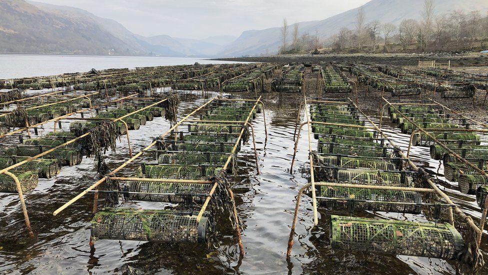 Oyster beds on Loch Fyne
