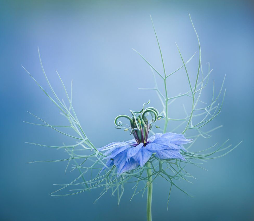 A close-up of a delicate blue flower