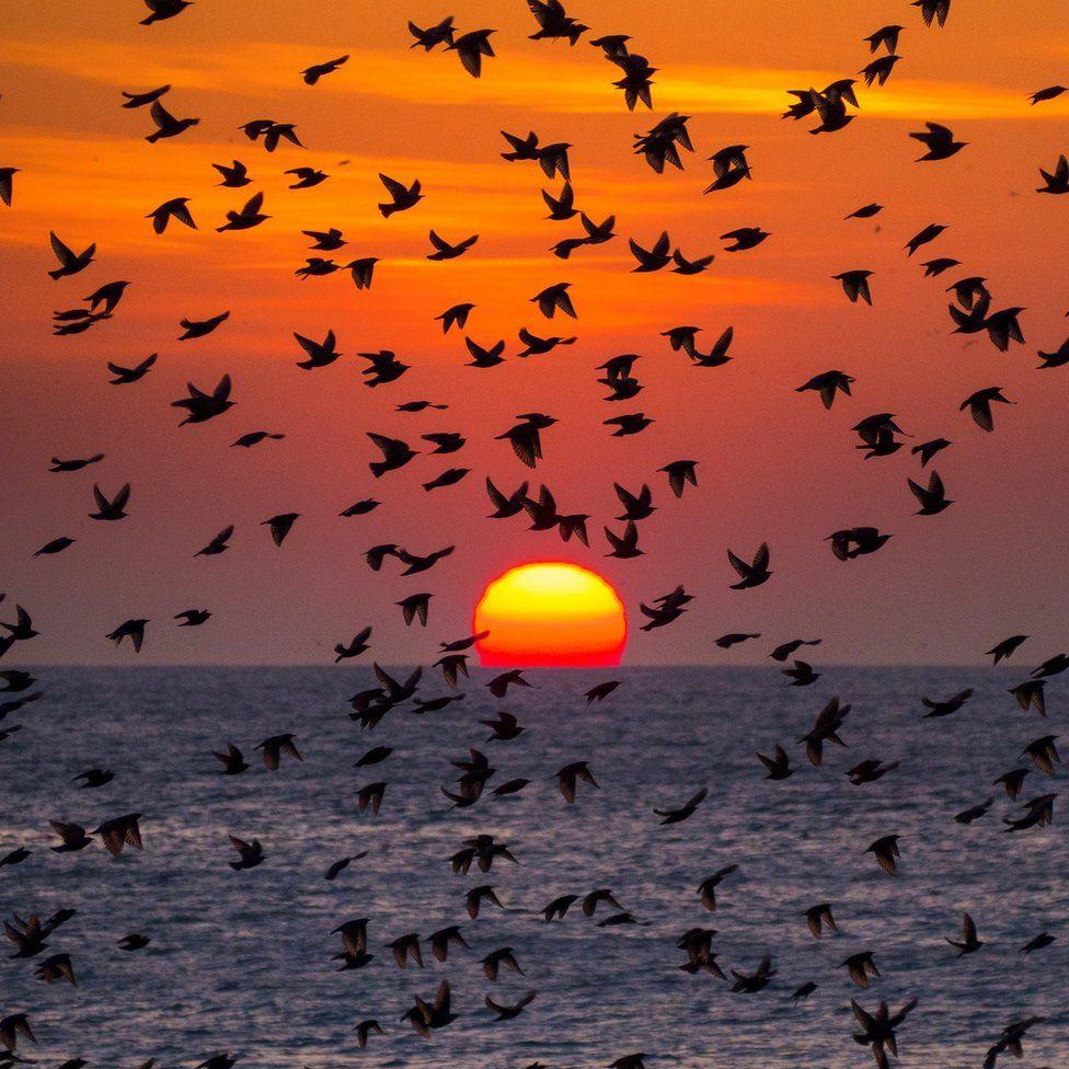 Starling murmuration at sunset
