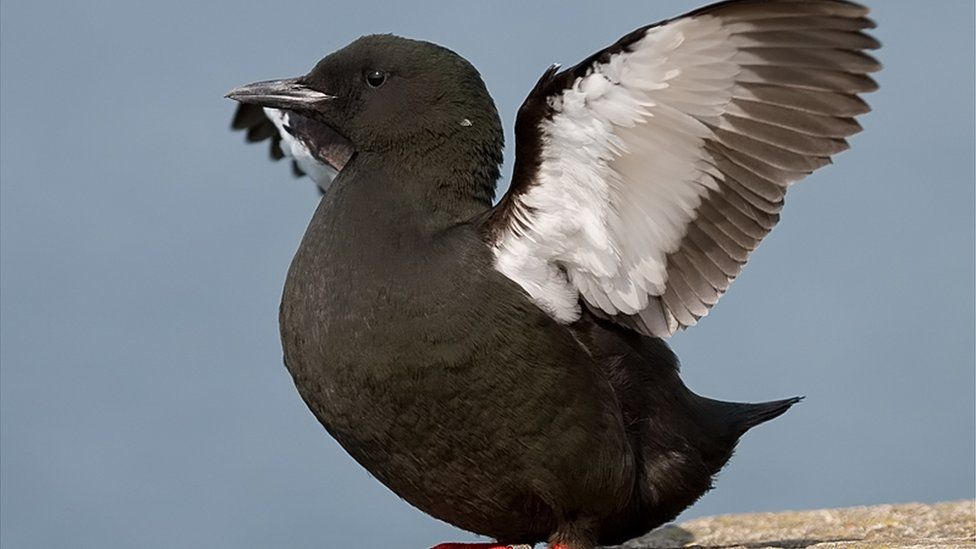 The black guillemot is on the amber list of the Birds of Conservation Concern Ireland