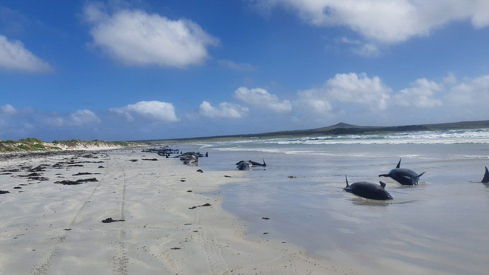 Pilot whales are seen stranded on the beach in Chatham Islands, New Zealand November 22, 2020
