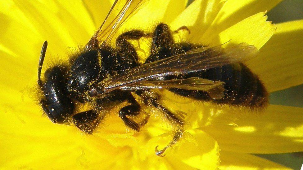 Large shaggy bee