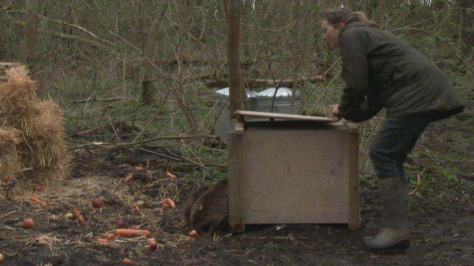 Beavers being released