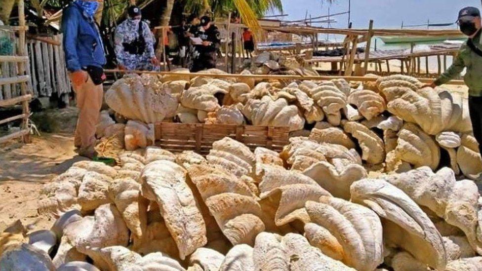 Philippines: Giant clam shells worth $25m seized in raid - BBC News