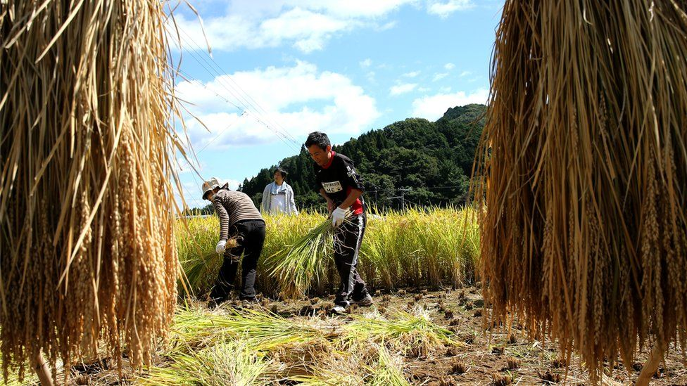 Japanese rice farmers uses sickles as they harvest rice in a paddy field on September 20, 2015 in Sayo, Japan