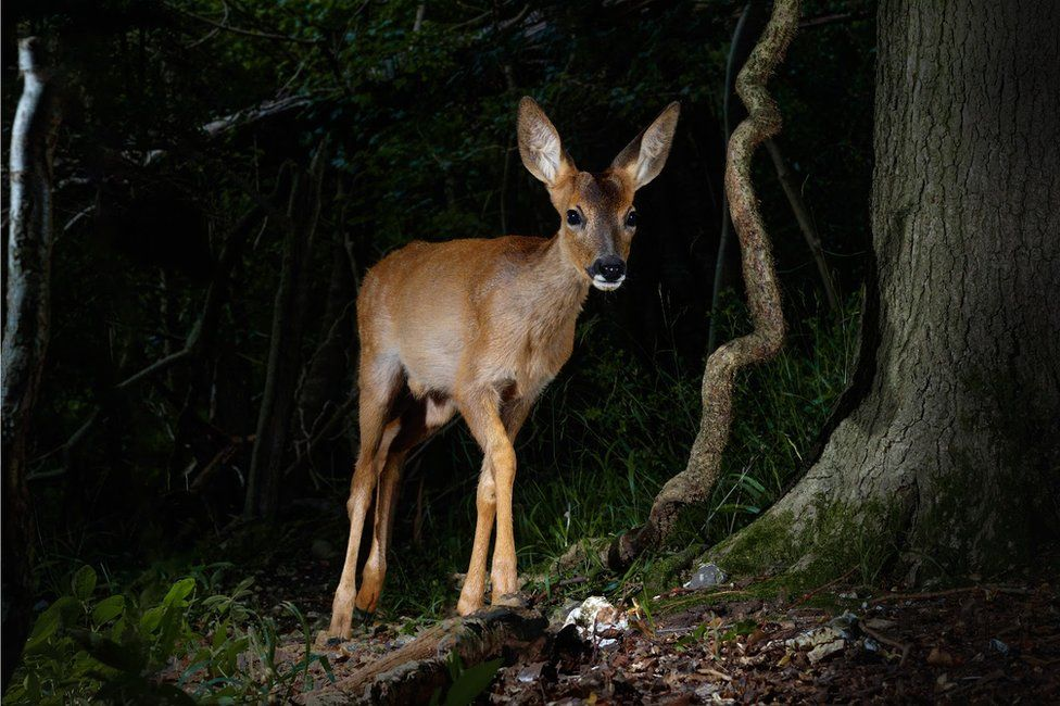 A young deer in the woods in England