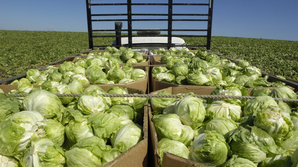 iceberg lettuces being transported form field