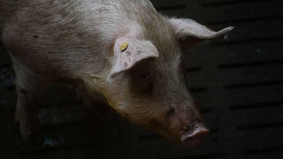 Pig with RFID tag