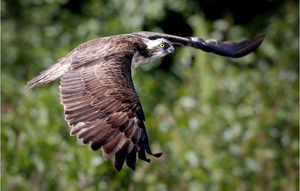 An osprey flies above a loch near Aviemore in the Cairngorms