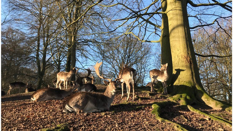 Fallow deer in St Asaph