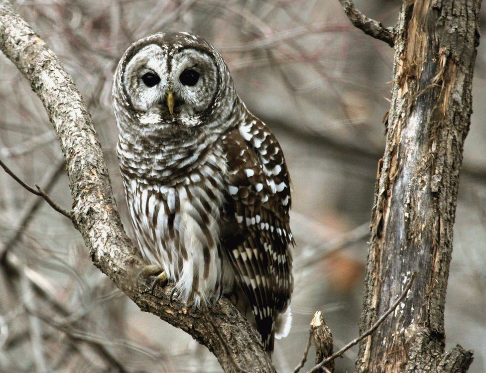A barred owl sits on a tree branch.,
