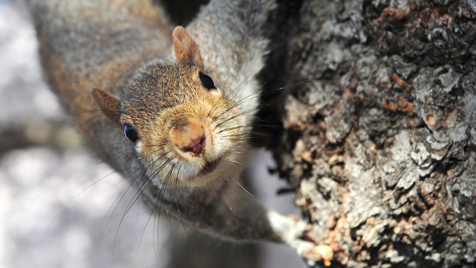Stock image: A squirrel sits on the trunk of a cherry tree in Washington DC, 29 March 2016