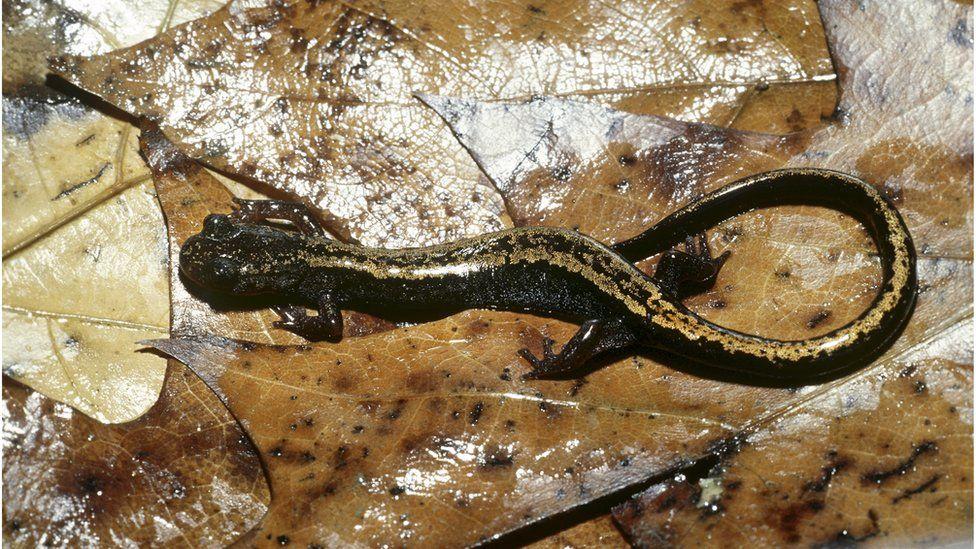 Golden-striped salamander