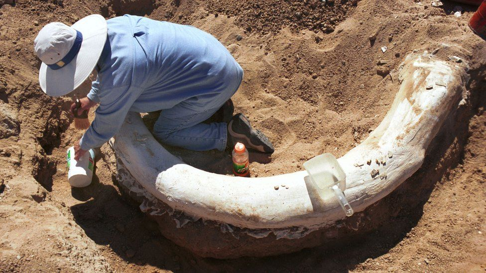 A mammoth tusk being dug up