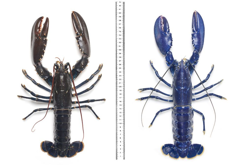 A regular European lobster, and (right) a blue one caught in Scotland in 2011