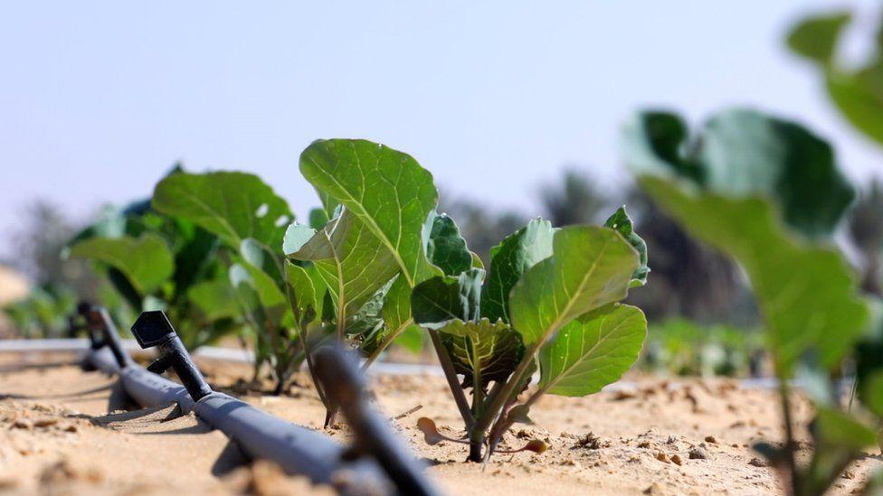 The innovation turning desert sand into farmland - BBC News