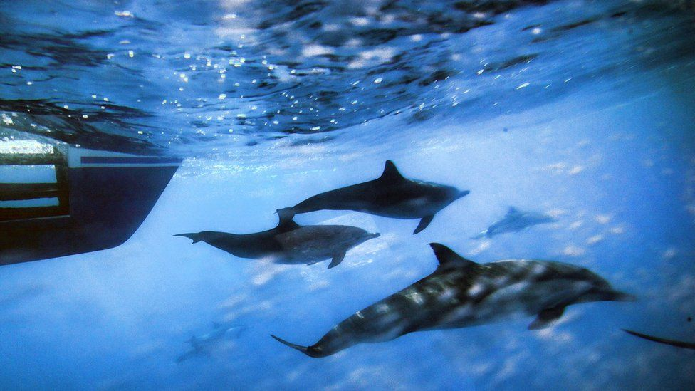 Dolphins off the coast of San Pedro, California