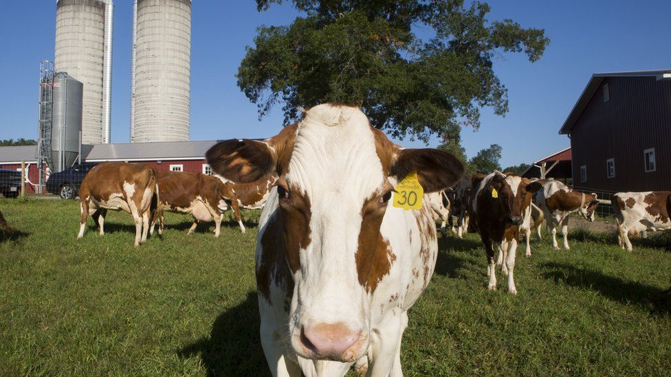 Dairy cows enjoy grazing in a field at Hornstra Farms dairy, on August 7, 2017 in Norwell, Massachusetts.