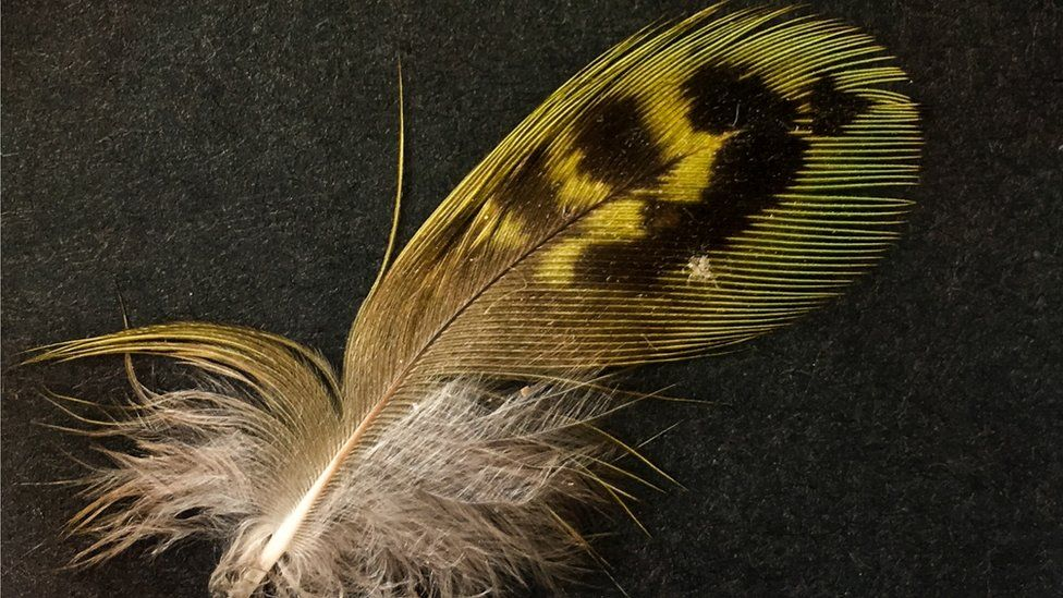 The disputed night parrot feather that was allegedly found in South Australia