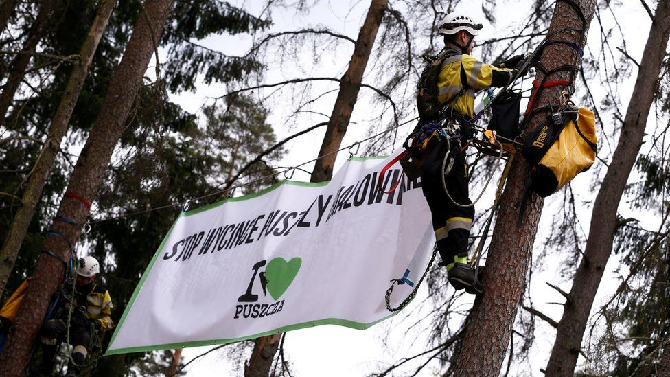 Environmental activists hang on trees with a banner that reads 'Stop Logging Bialowieza Forest', 24 May 17