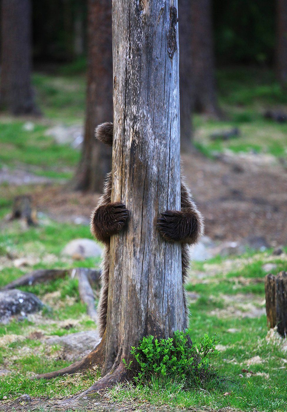 A bear hides behind a tree
