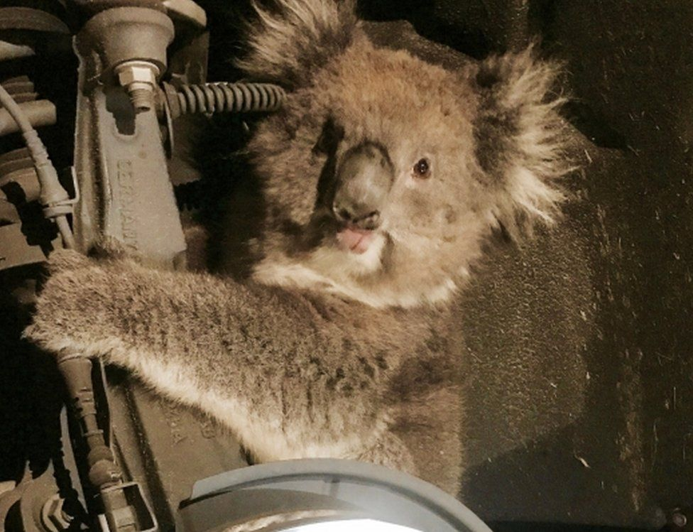 A koala sits trapped in the wheel well of a car after the wheel was removed to facilitate its rescue in Adelaide, South Australia, 9 September 2017