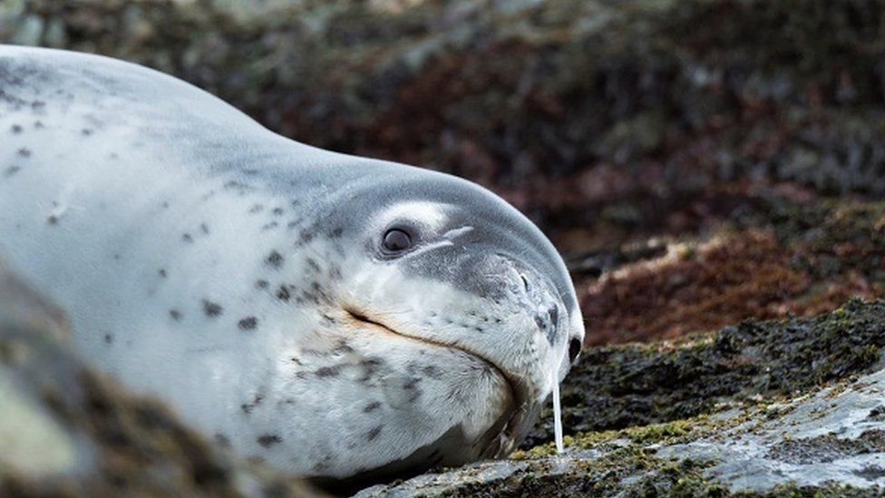 Leopard Seal Hydrurga leptonyx resting on a rock covered with kelp at the shore of South Georgia Antarctica