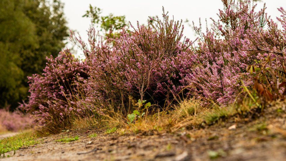 Heather in The Netherlands