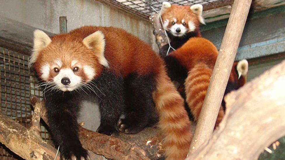 Chinese red panda