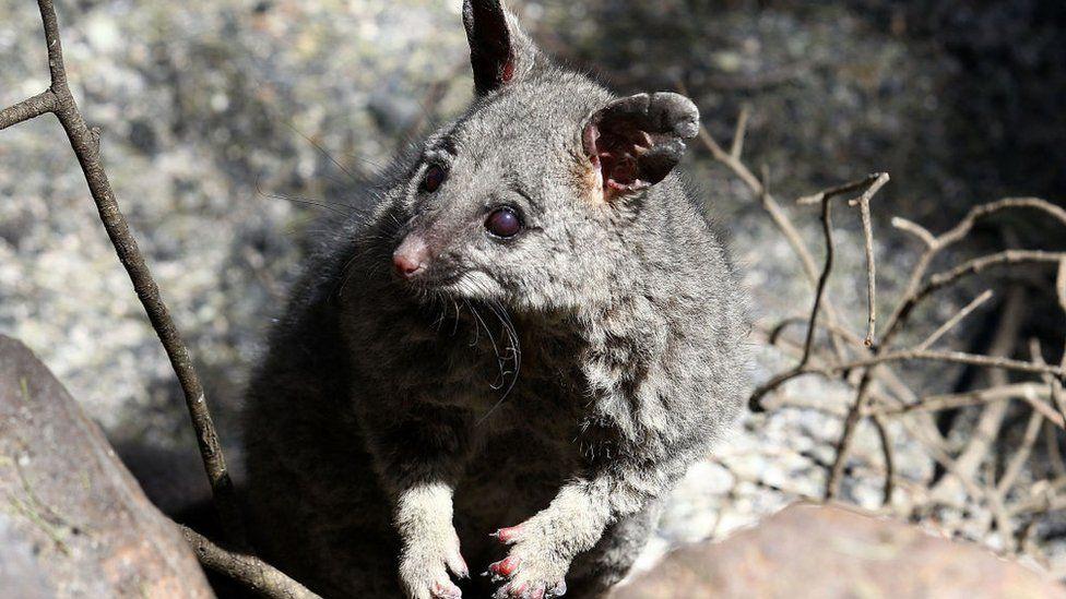 A possum that survived a bushfire in 2014