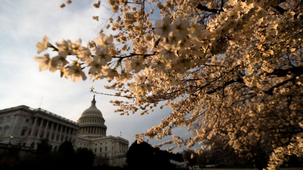 Cherry blossoms at the US Capitol in Washington